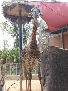 Meet Bahati, who was born in September 1991. She helped fulfill my dream of seeing a giraffe in person, and she was ADORABLE <3